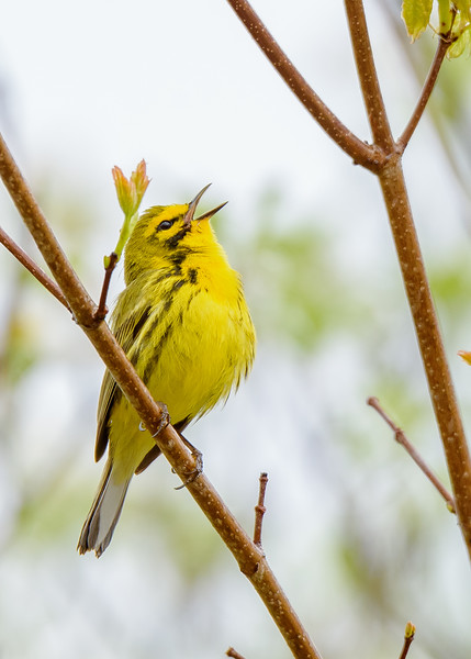 a Prairie Warbler singing at Falling Springs Bird Sanctuary, French Lick, IN