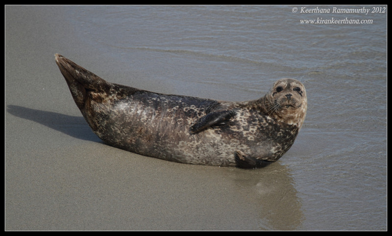 Harbor Seal portrait, La Jolla Cove, San Diego County, California, April 2012
