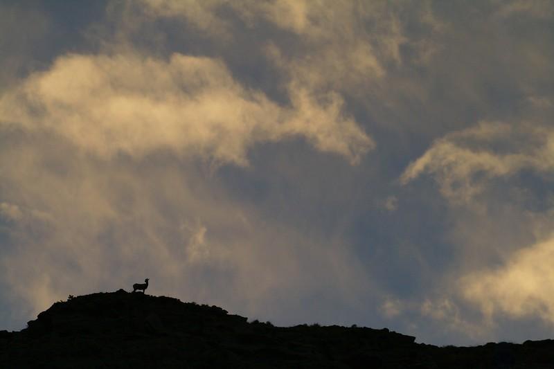 Bighorn Sheep silhouette Yellowstone _MG_3128.jpg