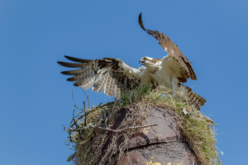 OspreyFemale On Nest_SabineRiver_664A9531.jpg