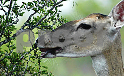 can-deer-be-used-as-a-tool-for-browse-quantity-and-quality