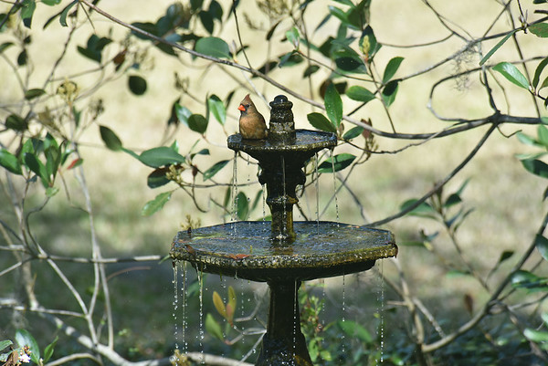 Cardinal Bathing at 309RR 02-28-18
