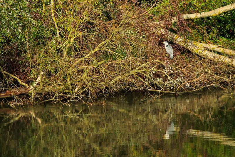 Blue Heron on the Seine