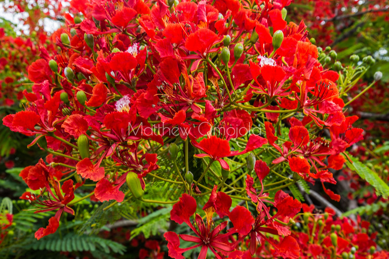 Sea of Crimson flowers of Flamboyant Royal Poinciana Delonix Regia tree in president Hotel Yamoussoukro, Ivory Coast Cote d'Ivoire.