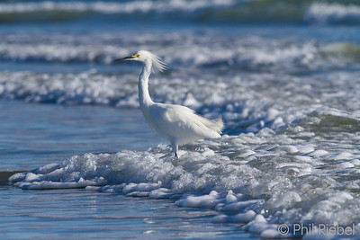 Snowy Egret in the Surf