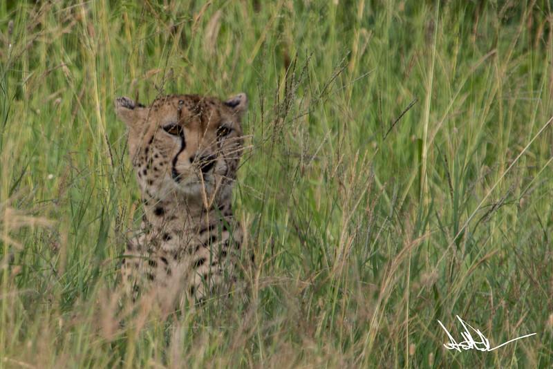 CheetahS-4.jpg