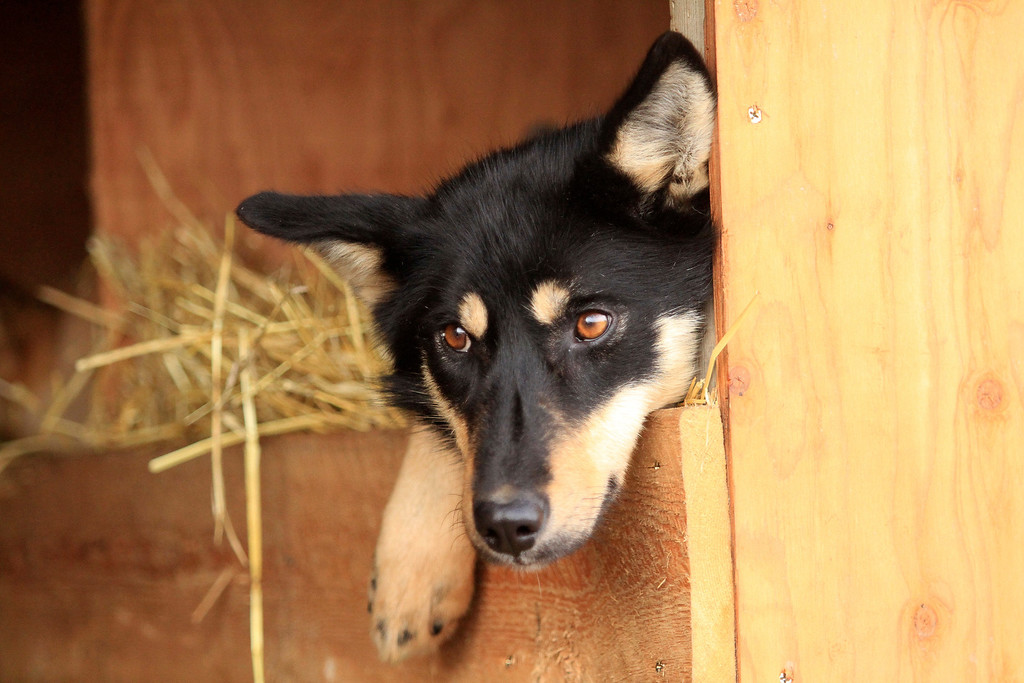 . Bonnet, a sled dog on the team of former Iditarod champion Jeff King, lies in a dog box of a truck before the ceremonial start of the 2014 Iditarod Trail Sled Dog Race on Saturday, March 1, 2014, in Anchorage, Alaska. (AP Photo/Dan Joling)