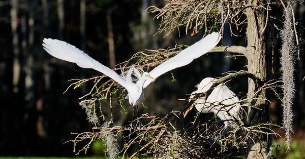 Magnolia Gardens - Egret in Flight