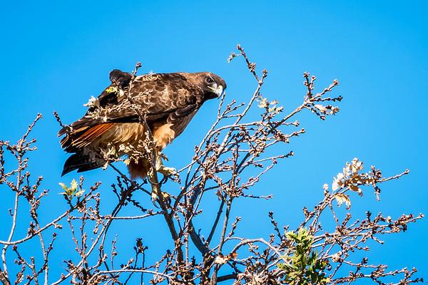 Hawk? Eagle?