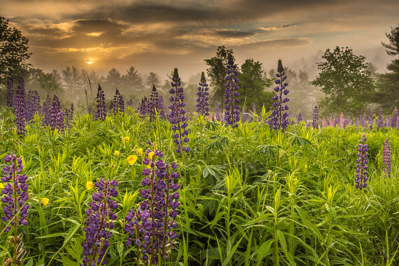 Lupines in the  morning