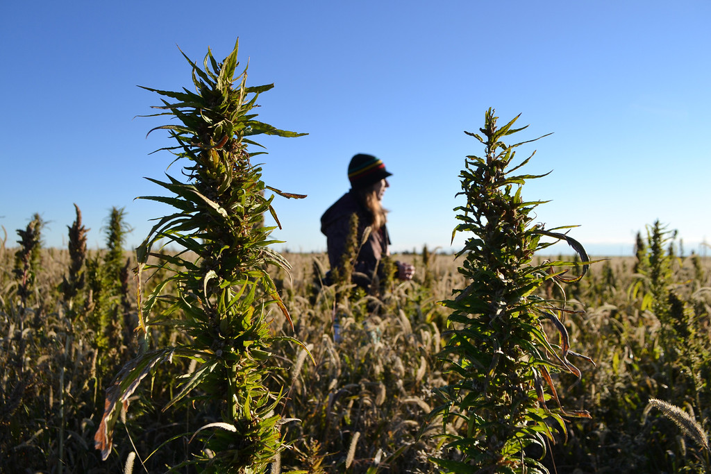 . In this Oct. 5, 2013 photo, a volunteer walks through a hemp field at a farm in Springfield, Colo. during the first known harvest of industrial hemp in the U.S. since the 1950s. (AP Photo/P. Solomon Banda)