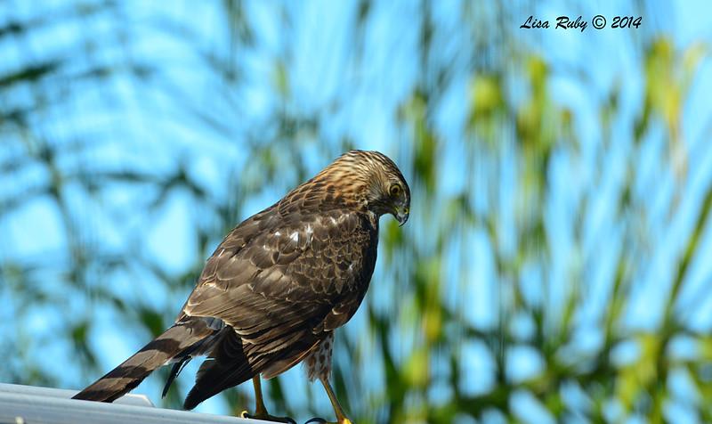 Immature 1st year Cooper's Hawk  - 11/20/2014 - Backyard Sabre Springs