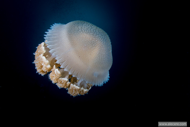 Large jellyfish floating in the waters of Tioman, Malaysia.