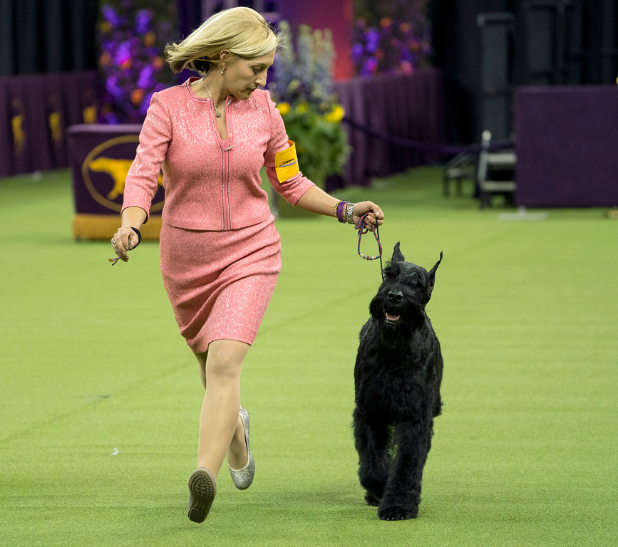 . Ty, a Giant Schnauzer, runs with handler Katie Bernardin before winning the working group during the 142nd Westminster Kennel Club Dog Show, Tuesday, Feb. 13, 2018, at Madison Square Garden in New York. (AP Photo/Craig Ruttle)