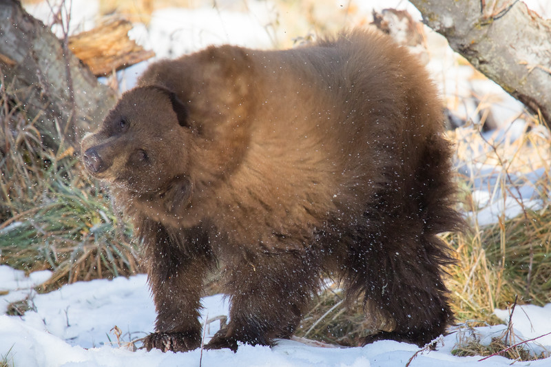 Tahoe Bear Fall 2020-11.jpg