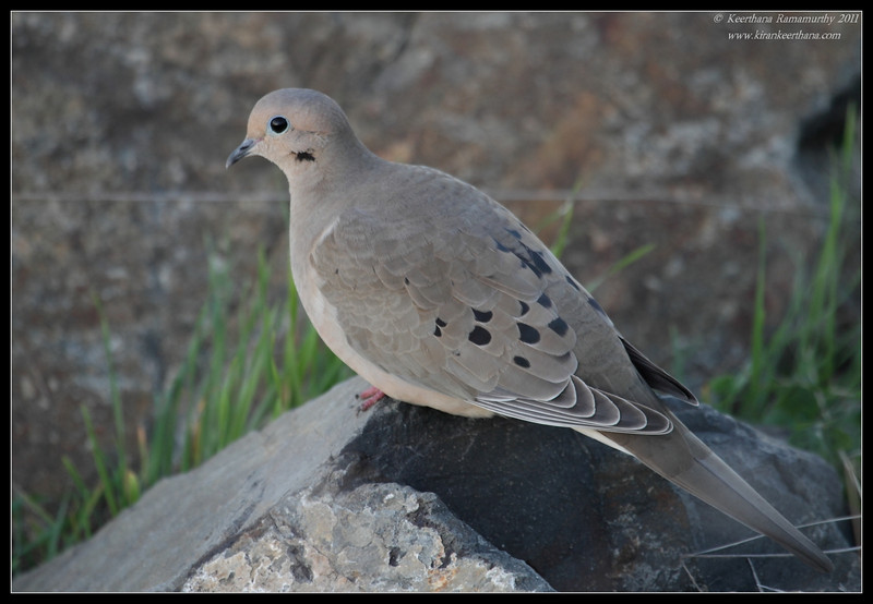 Mourning Dove, Robb Field, San Diego County, California, November 2011