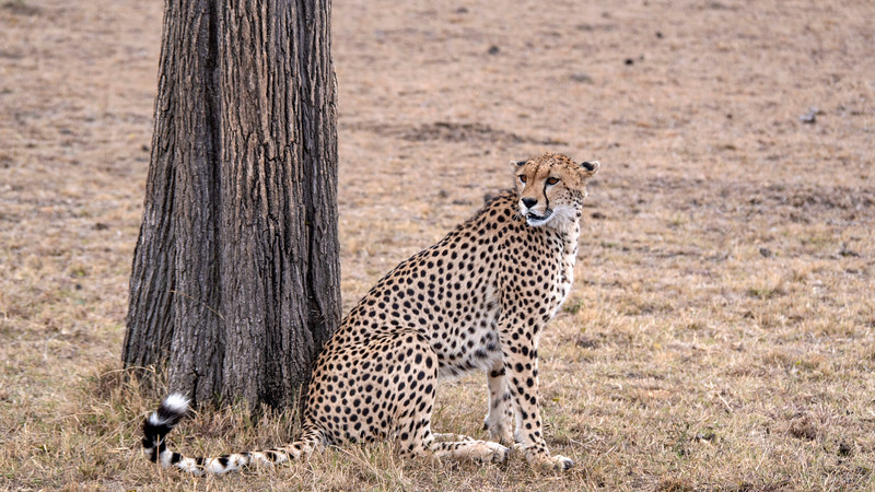 Tanzania-Serengeti-National-Park-Safari-Cheetah-02.jpg