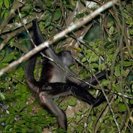 Geoffreys Spider Monkey