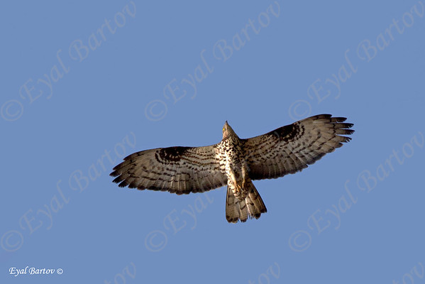 Honey buzzard (Pernis apivorus) איית צרעים