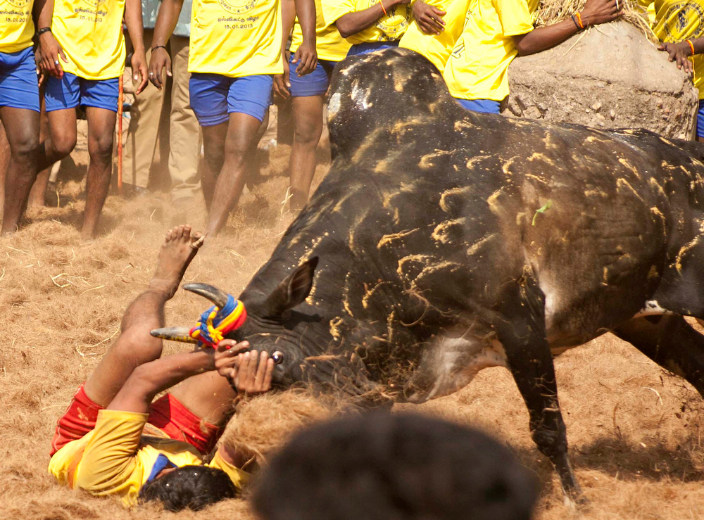 Description of . A participant holds back an angry bull during the traditional bull taming festival called 'Jallikattu' in Palamedu near Madurai, around 500km south of Chennai, on January 15, 2013. Jallikattu is a bull taming sport played in Tamil Nadu as part of Pongal celebrations. AFP PHOTOSTRDEL/AFP/Getty Images