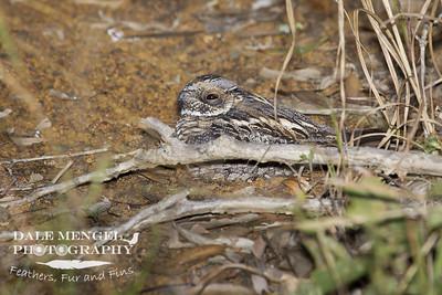 Spotted Nightjar (Eurostopodus argus)