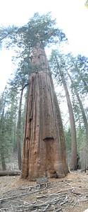Tuolumne Grove Yosemite NP 04-2018