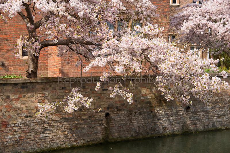 Blossoms on the Cam Cambridge River UK April 2013