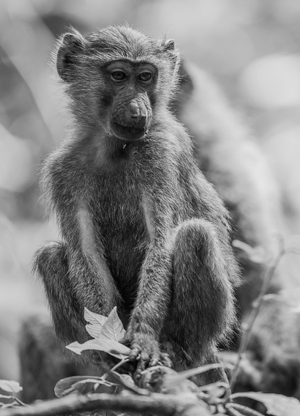 Uganda_T_Chimps-1520.jpg