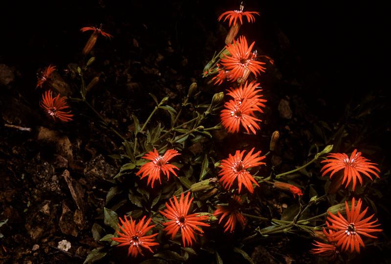 Fire Pink (Silene laciniata) Big Bend National Park, TX, 1958