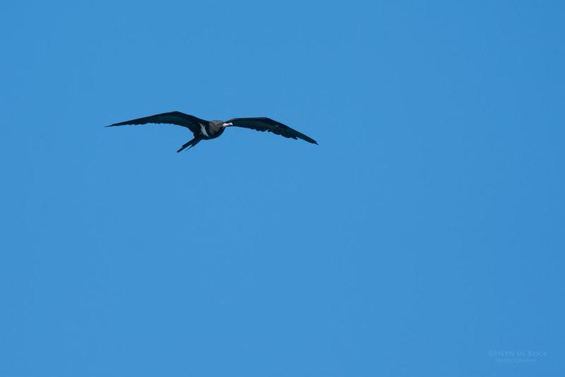 Lesser Friagtebird, Lady Elliot Island, QLD, Dec 2015-7.jpg