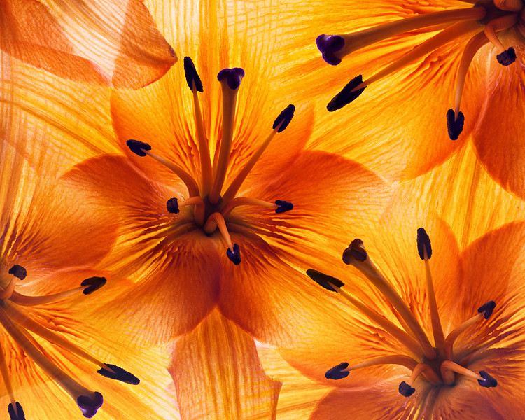 asiatic-lilies.jpg