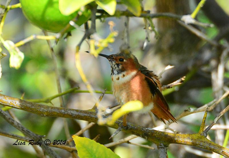Allen's Hummingbird - 11/23/2014 - Backyard, Sapbre Springs