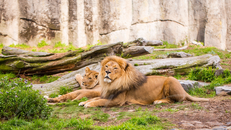 African Lion and Lioness a the San Francisco Zoo