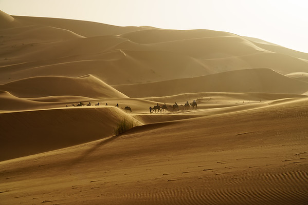 Camel Caravan in Morning Light