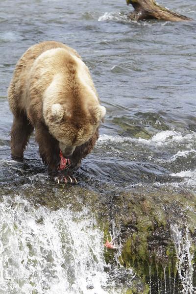 Katmai Island-BEARS!