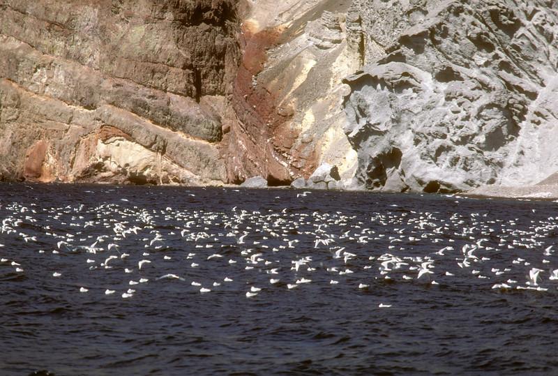 Bonaparte's Gull (Chroicocephalus philadelphia) Baja California, Mexico, 1980