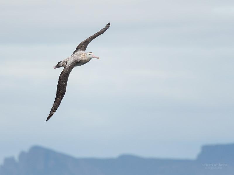 Antipodean Albatross, Eaglehawk Neck Pelagic, TAS, Sept 2016-11.jpg