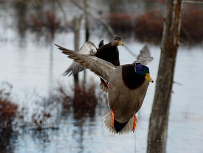 Duck Marsh