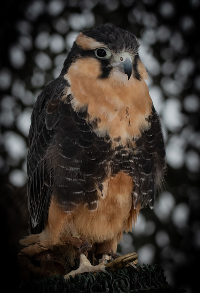 """Zorro"" - Plumado Falcon (Jonathan Wood owner)"