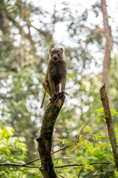 Uganda_T_Chimps-1452.jpg