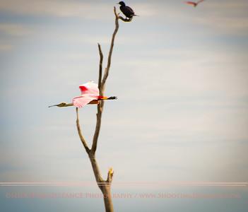 Spoonbill and Cormorant
