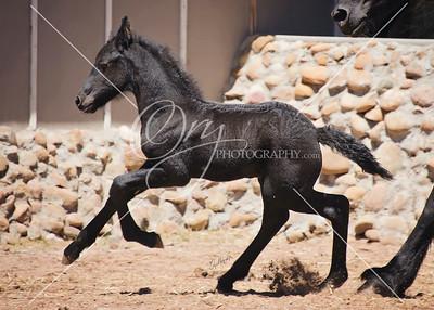 Centaurus- Friesian Colt