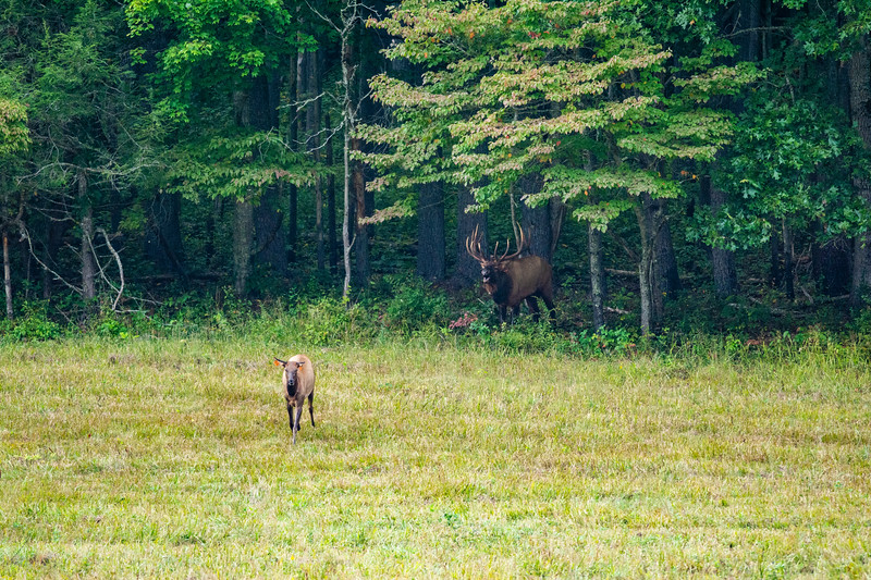 A bull elk stands in the tree line while a female elk wanders out from the tree line in Cataloochee, Great Smoky Mountains National Park, September 23, 2018. (Joseph Forzano / Deep Creek Films)
