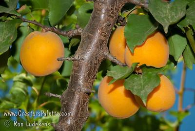Blenheim Apricot - Prunus armeniaca sp.