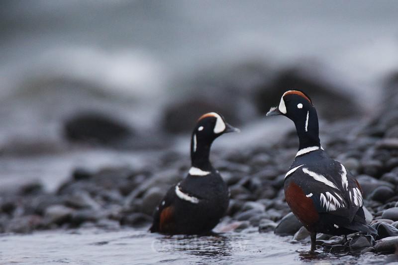 Male Harlequin Ducks on a shore