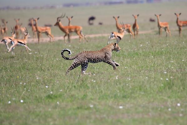 Leopard Adult Mara Kenya 2018