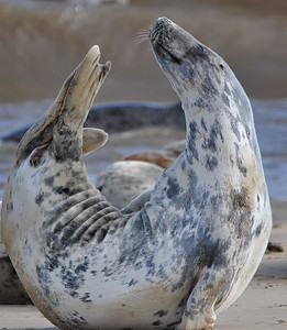 Seals Basking On Horsey Beach - 02/03/14