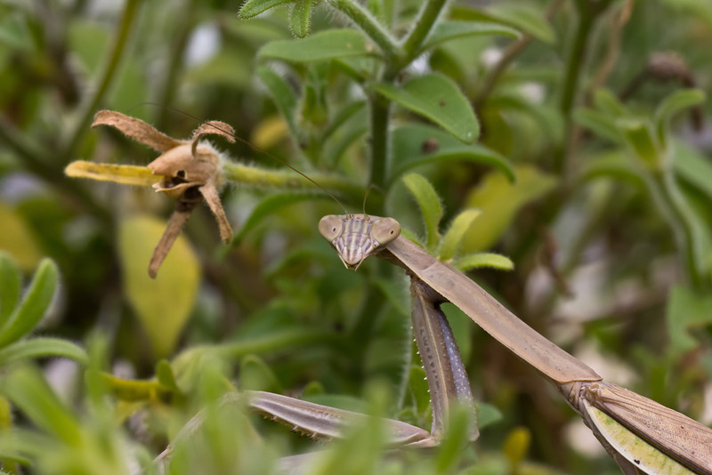 praying mantis-14_September 19, 2011.jpg