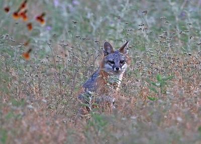 Lake Waco Foxes