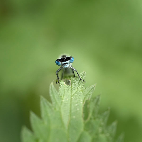 Blue-tailed damselfly on nettle